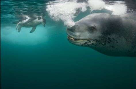 Leopard Seal And Penguin